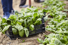 Fresh spinach in the hothouse Royalty Free Stock Photography
