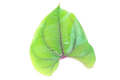 Fresh spinach leaf Royalty Free Stock Image