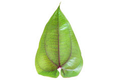 Fresh spinach leaf Royalty Free Stock Photos