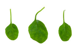 Fresh spinach leaves Stock Photography
