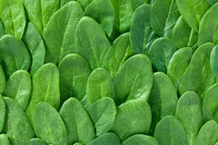 Fresh spinach leaves background Stock Photo