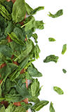 Fresh spinach leaves. Stock Image