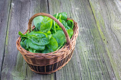 Fresh Spinach leaves in a wicker basket. On Old Wooden Table Royalty Free Stock Photo