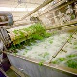 Food industry, spinach washing tub. Fresh spinach washing tub in a food industry royalty free stock image