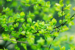 Fresh sping leaves Royalty Free Stock Images