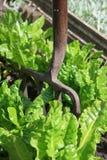 Fresh Spinnach. A garden fork set in the ground amongst fresh organically grown spinnach leaves Royalty Free Stock Photos