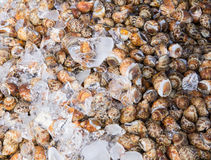 Fresh spotted babylon shell in local market Stock Image