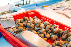 Fresh Spotted babylon snails and escargots on Royalty Free Stock Photos