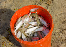 Fresh sprat in a bucket Stock Photography