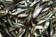 Fresh sprat Stock Images