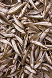 Fresh sprats Stock Photography