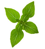 Fresh sprig of basil Royalty Free Stock Photos