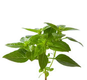 Fresh sprig of basil Stock Photos