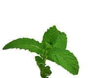 Fresh Sprig of Mint Leaves Isolated Over White Stock Photos