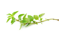 Fresh sprig of oregano herb Royalty Free Stock Images