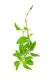 Fresh sprig of oregano herb Stock Photos