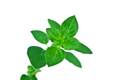 Fresh Sprig of Oregano Leaves Isolated Over White Stock Photos