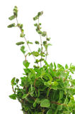 fresh sprigs of oregano herb Stock Photos