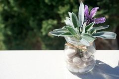 Fresh spring aromatic plants, lavender and sage in glass jar with pebbles stock image
