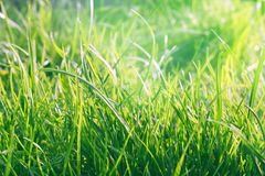 Fresh spring background. Concept greeting card for Woman Day, Easter and Mother& x27;s Day. Soft focus photo of uncut green grass royalty free stock photography