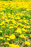 Fresh spring background of field yellow dandelions flower, close Royalty Free Stock Image