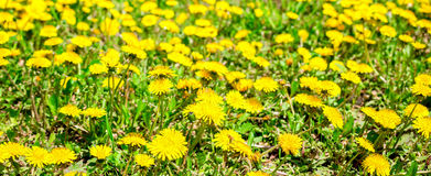 Fresh spring background of field yellow dandelions flower Royalty Free Stock Images