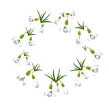 Fresh spring background with snowdrops with green leaves. Vector illustration Stock Photos