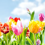 Fresh spring background of vibrant tulips royalty free stock photos