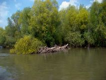 Fresh spring on the banks of the river Danube. Trees willows and poplars have woken up alive Birds are looking for their nests last year stock image