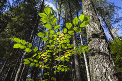 Fresh Spring Beech Royalty Free Stock Photography