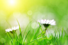 Fresh spring bokeh with green grass and daisies. Royalty Free Stock Photos