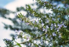 Fresh spring branches of rosemary and its blossoms. Close-up of fresh spring branches of rosemary and its blossoms Stock Photos