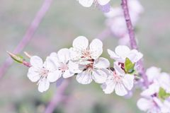 Fresh spring cherry branch blossom close-up on colourful bokeh b royalty free stock photography