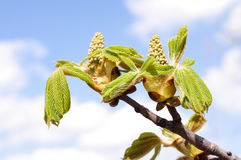 Fresh spring conker bud and leaves Stock Images