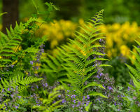 Fresh Spring Fern Royalty Free Stock Photos