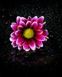 Fresh Spring Flower Royalty Free Stock Image