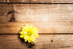 Fresh spring flower on rustic grunge wood. Royalty Free Stock Photography