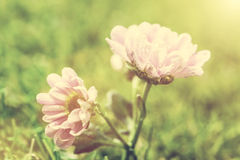 Fresh spring flower in sun light. Vintage Royalty Free Stock Photos