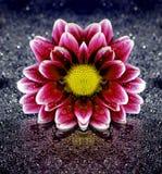 Fresh Spring Flower on Wet Background Royalty Free Stock Photos