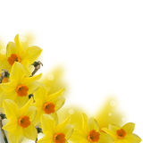 Fresh spring flowers  of daffodils Royalty Free Stock Images