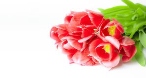 Spring flowers-red tulips with green stalks lie on a white background. closeup stock photo