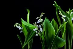 Fresh spring flowers lily of the valley on a black background. Royalty Free Stock Images
