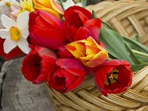 Fresh spring flowers  of tulips Royalty Free Stock Photo