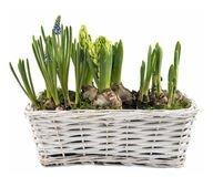 Fresh spring flowers in white basket isolated Royalty Free Stock Image