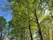 Fresh spring forest scenery. Transparent green leaves in sunny day stock image