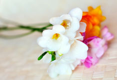 Fresh spring freesias in soft focus Stock Photography