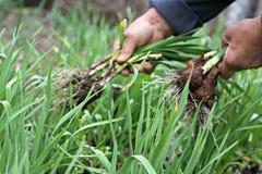 Fresh spring garlic royalty free stock images