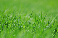 Fresh spring grass. Green background with fresh spring grass, low depth of focus Stock Image