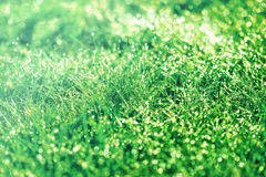 Fresh spring grass covered with dew Stock Photo