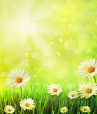 Fresh spring grass with daisies Stock Images
